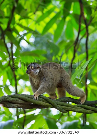 A lemur in the forest of Madagascar - stock photo