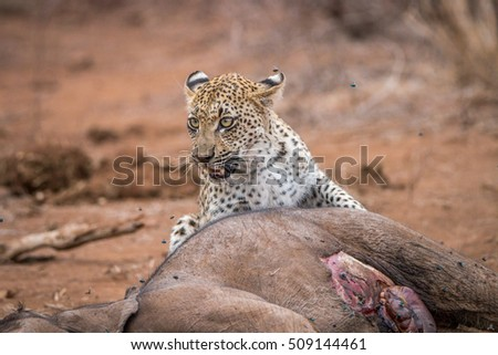 A Leopard at a baby Elephant carcass in the Kruger National Park, South Africa.