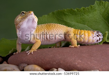 A leopard gecko is looking up while sitting on a rock. - stock photo