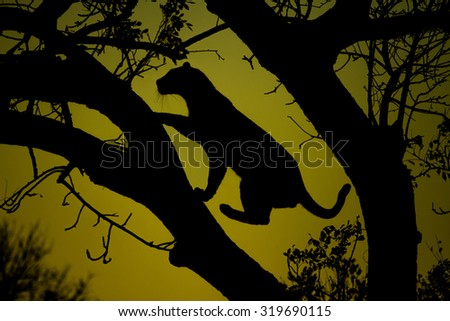A leopard is silhouetted against the sky before sunrise while it climbs a tree in Sabi Sands Game Reserve in greater Kruger National Park, South Africa - stock photo