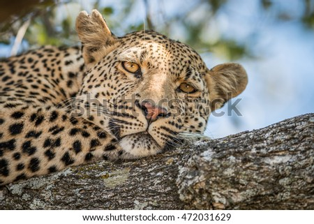 A Leopard laying in a tree in the Kruger National Park, South Africa.