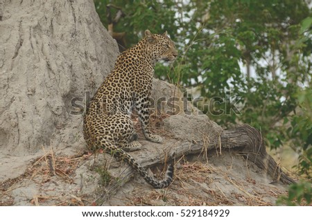 A Leopard on A Termite Mound, Botswana, Africa