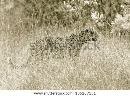 A leopard on the Masai Mara National Reserve - Kenya (stylized retro) - stock photo