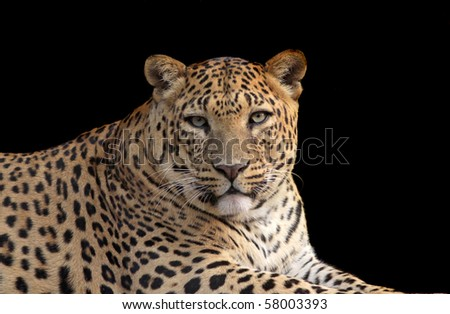 A Leopard portrait isolated on a black background. - stock photo
