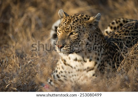 A leopard resting in dry grass - stock photo