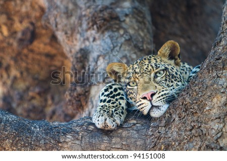 A leopard's face and paws where it rests in the fork of a large tree - stock photo
