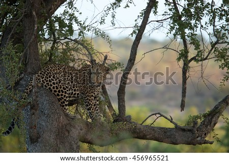 A Leopard sitting in a tree in the Kruger National Park, South Africa.