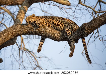 A leopard sleeping in a tree - stock photo