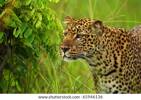 A leopard stands out of its surroundings during the Emerald Season (green season, rainy season) in Africa.