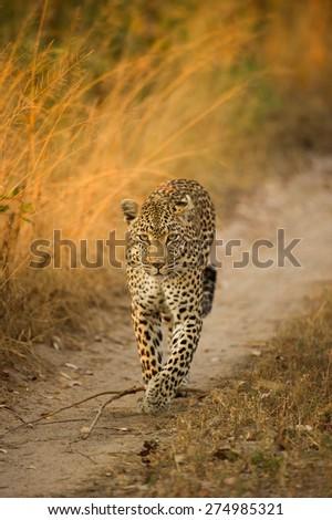 A leopardess walking along a road below long, reddish gold grass - stock photo