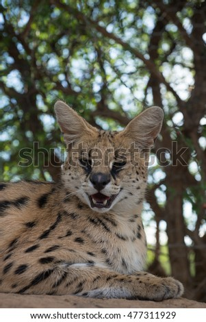 A Leptailurus serval sitting under a tree on a hot day