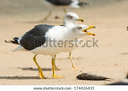 A Lesser Black-Backed Gull (Larus fuscus) claiming a dead fish on the beach - stock photo