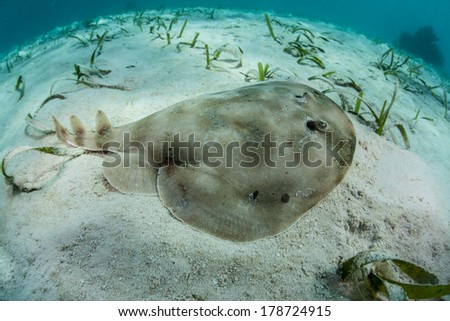 A lesser electric ray (Narcine bancroftii) is a found amid seagrass on a shallow sand flat off Turneffe Atoll in Belize. This species can generate voltage of 14 - 37 volts to stun prey or for defense. - stock photo