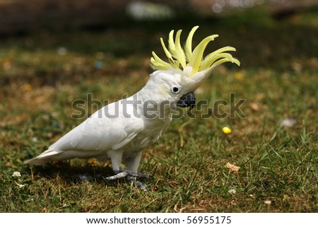 A Lesser Sulphur Crested Cockatoo walking on grass with his crest erect. - stock photo