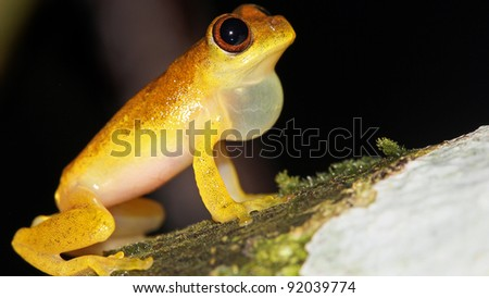 A Lesser Treefrog (Dendropsophus minutus) calls in the Peruvian Amazon - stock photo