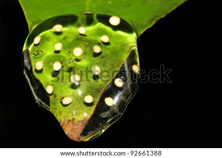 A Lesser Treefrog (Dendropsophus minutus) egg mass in the Peruvian Amazon