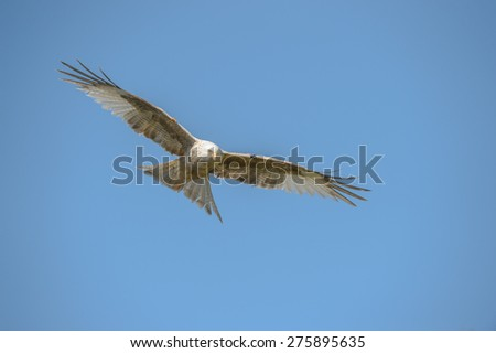 A leucistic Red Kite flying against a blue sky background. - stock photo