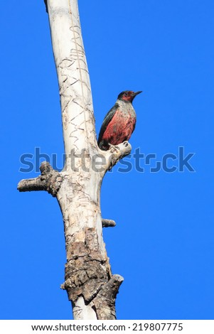 A Lewis's Woodpecker (Melanerpes lewis) perches on a dead tree at Kolob Reservoir, just outside Zion National Park, Utah, USA. Rejected for focus - stock photo