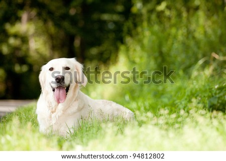A licking labrador retriever lying in green grass - stock photo
