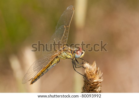 A life-size closeup of a yellow dragonfly - Red-veined Darter (Sympetrum fonscolombii)
