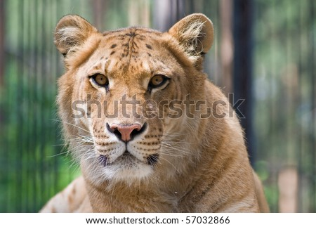 A liger - a crossbreed of a tiger and a lion