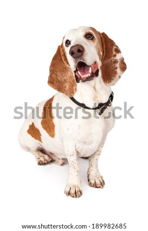 A light color Basset Hound dog sitting with a happy expression - stock photo