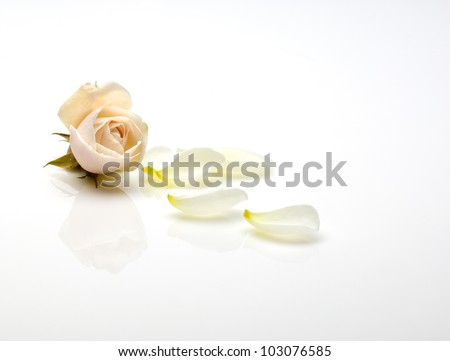 a light pink rose and rose petals isolated on a white background - stock photo