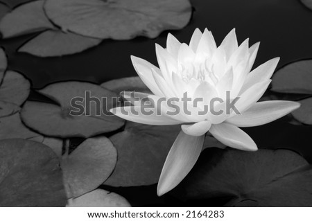 A light waterlily stands out against dark water and leaves - stock photo