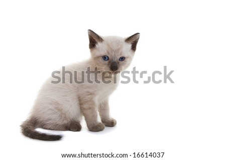 A lilac point Siamese kitten on white background