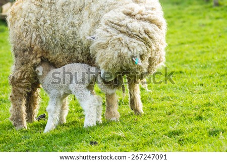 A Lincolnshire Long Wool sheep with her newborn lamb in a green field in April. Idyllic rural scene.