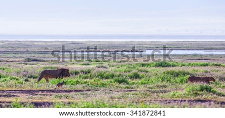 A lion, a lioness and a jackal in the early morning lights in the Ngorongoro Crater, Tanzania - stock photo