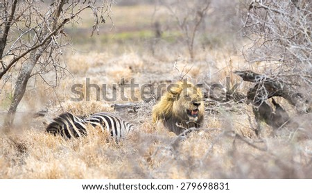 A lion at a Zebra Kill in Kruger Park, South Africa - stock photo
