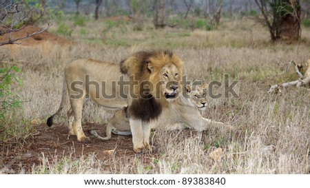 A lion couple at dawn, Kruger National Park, South Africa.