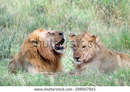 A lion Couple sitting in the grass
