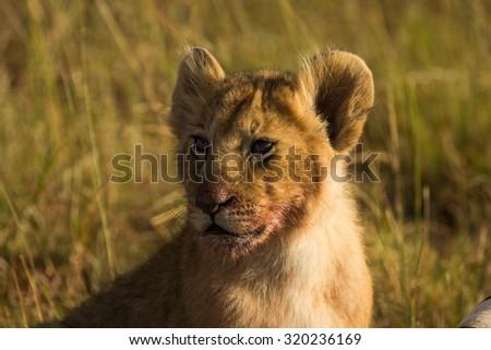 A Lion cub - stock photo