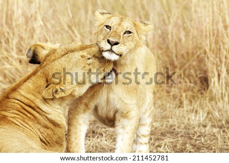 A lion cub (Panthera leo) with its mother on the Masai Mara National Reserve safari in southwestern Kenya. - stock photo