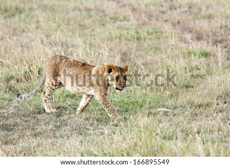 A lion cub walking in the Grassland - stock photo