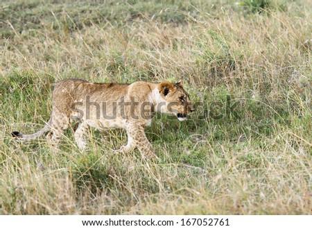 A lion cub walking in the Savannah - stock photo