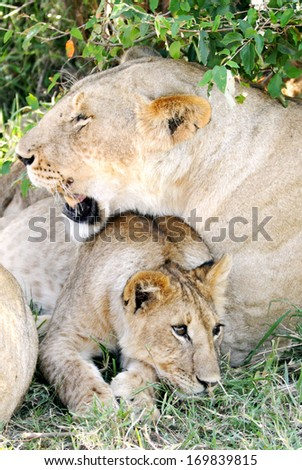 A lion cub with his mother - stock photo