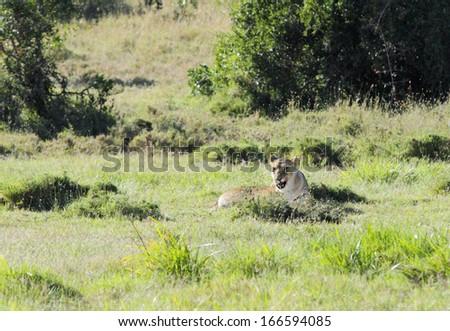 A lion in the Savannah grassland - stock photo
