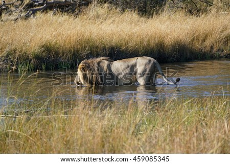 A lion just crossed a river, with danger of crocodiles and hippos. Okavangodelta, Botswana, Africa. - stock photo