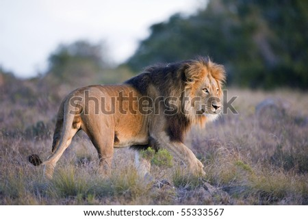 A Lion Leader on the prowl - stock photo