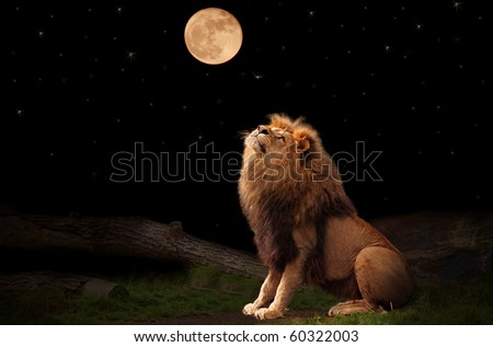 A lion looking at the moon - stock photo