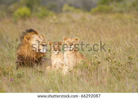 A lion male rests in a grassland with his two young cubs. - stock photo