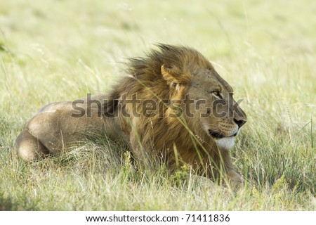 A lion male rests on a grassland with the wind blowing through his mane. - stock photo