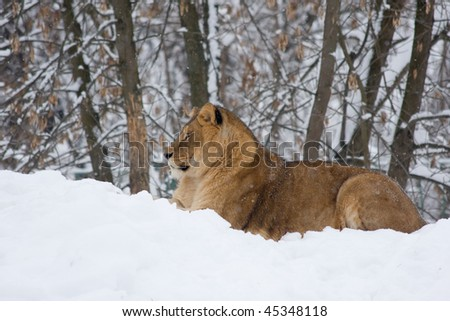 a lion on snow in winter - lateral - stock photo