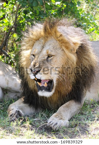 A lion opening his mouth  - stock photo
