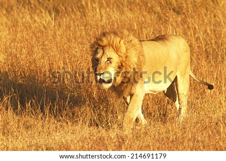 A lion (Panthera leo) on the Maasai Mara National Reserve safari in southwestern Kenya. - stock photo