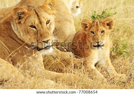 A lion (Panthera leo) with cub on the Masai Mara National Reserve safari in southwestern Kenya. - stock photo