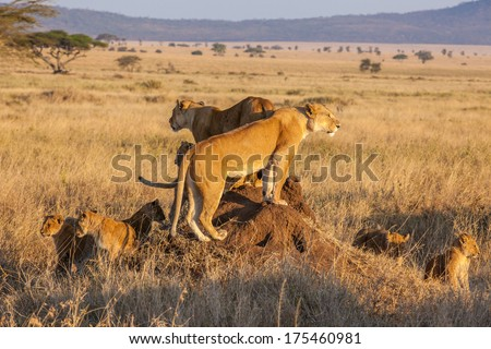A lion pride hunts as a family during sunrise in the Serengeti of Tanzania. - stock photo